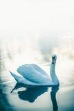 Natation blanche isolée de cygne dans le lac au coucher du soleil Photos libres de droits