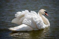 Natation blanche ?l?gante de cygne dans l'?tang Concept Romance et de paix Cygne simple avec de belles ailes et plumage blanc photo libre de droits