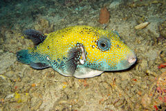 natation Bleu-repérée de pufferfish Photos stock