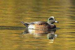 Natation calme de canard siffleur américain dans l'étang Image libre de droits