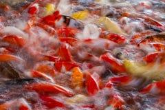 Natation carpe ou de poissons de fantaisie de Koi dans l'étang Photo stock