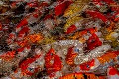 Natation carpe ou de poissons de fantaisie de Koi dans l'étang Image libre de droits