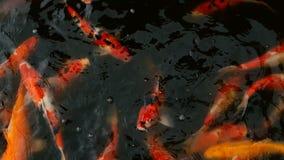 Natation colorée vibrante de poissons de Koi Carp de Japonais dans l'étang traditionnel de jardin Carpes de fantaisie chinoises s banque de vidéos