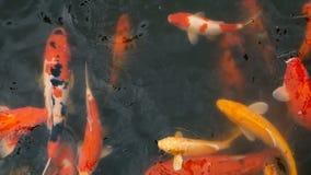 Natation colorée vibrante de poissons de Koi Carp de Japonais dans l'étang traditionnel de jardin Carpes de fantaisie chinoises s clips vidéos