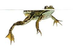 Natation comestible de grenouille sur la surface, vue de dessous Images libres de droits