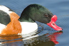 Natation commune de Shelduck Photographie stock