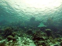 Natation d'aigle de mer au-dessus du récif dans les îles de baie de Belize photographie stock