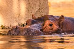 Natation d'hippopotame image libre de droits