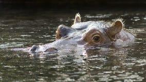 Natation d'hippopotame Photos stock