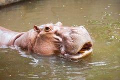 Natation d'hippopotame Photographie stock libre de droits