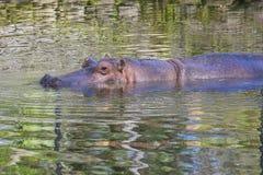 Natation d'hippopotame avec le corps supérieur hors de l'eau images stock