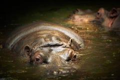 Natation d'hippopotame dans l'eau photo libre de droits