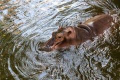 Natation d'hippopotame dans l'eau Photo stock