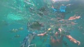 Natation d'homme avec le sexfasciatus de Coral Fish Scissortail Sergeant Abudefduf en mer vue sous-marine douce de couleurs bleue clips vidéos