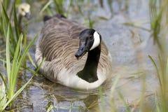 Natation d'oie de Canada vers l'appareil-photo sur un étang Images stock