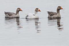 Natation d'oie de trois gris dans une rangée dans un lac Images libres de droits