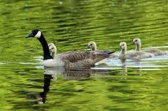 Natation d'oie du Canada dans le fleuve Photographie stock