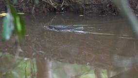 Natation d'ornithorynque en rivière dans Yungaburra, Australie banque de vidéos