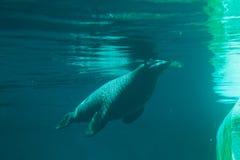 Natation d'otarie dans l'eau bleue claire, vue sous-marine Photos stock