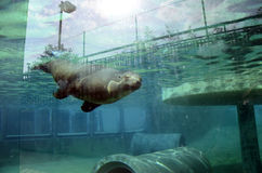 Natation d'otarie dans l'eau, dans l'aquarium Photos libres de droits
