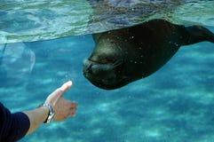 Natation d'otarie dans un aquarium Photo stock