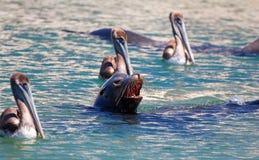 Natation d'otarie de Caifornia avec trois pélicans près de Cabo San Lucas Baja MEX Images libres de droits