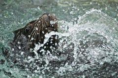 Natation d'otarie et jouer dans l'eau Photo libre de droits