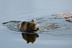 Natation d'ours de Brown Photos stock