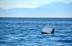 Natation de baleine sur la surface d'océan Image stock