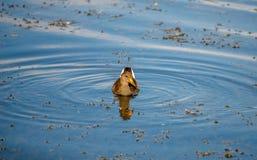Natation de Bush dans un lac Photo stock