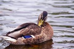 Natation de canard de Brown sur l'eau Image stock