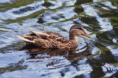 Natation de canard de Brown sur l'eau Photographie stock