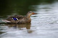 Natation de canard dans l'étang photos stock