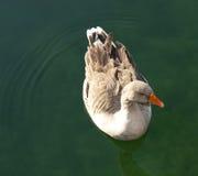 Natation de canard dans l'eau images stock