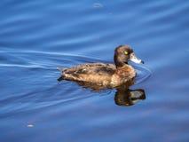 Natation de canard dans l'eau bleue Photos stock