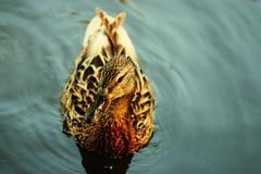Natation de canard dans l'étang froid Photographie stock