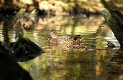 Natation de canard dans le lac Photographie stock libre de droits