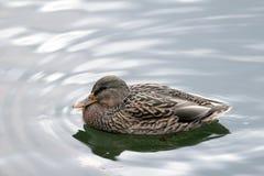 Natation de canard dans un étang image libre de droits