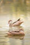 Natation de canard de Brown dans l'eau Photos stock