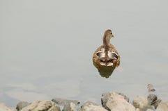 Natation de canard de colvert à partir du rivage Photographie stock libre de droits