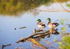 Natation de canard de mâle ou de canard sur un étang Photographie stock