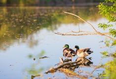 Natation de canard de mâle ou de canard sur un étang Image libre de droits