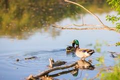 Natation de canard de mâle ou de canard sur un étang Image stock