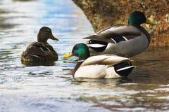 Natation de canard de Mallard dans le lac, un troupeau Photo libre de droits