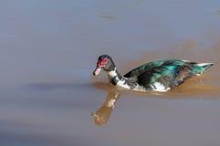 Natation de canard de Muscovy dans l'eau d'un lac Image stock