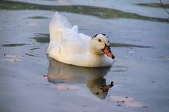 Natation de canard de Muscovy dans le lac banyoles image stock