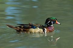 Natation de canard en bois dans un étang Image libre de droits
