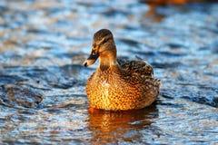 Natation de canard sauvage dans l'étang photos stock