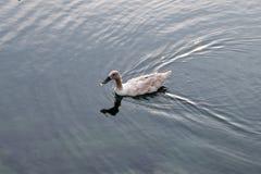 Natation de canard sur l'eau photo libre de droits