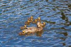 Natation de caneton avec la famille de dock de maman dans l'eau Image stock